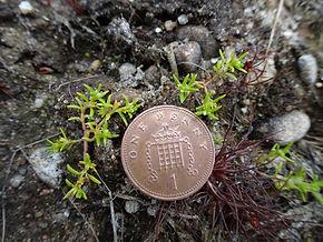 Pygmyweed