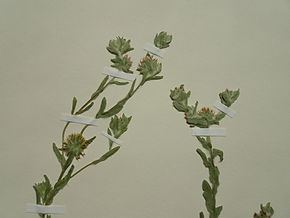 Red-tipped Cudweed