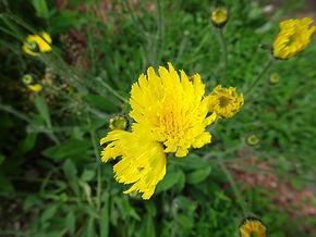 Pilosella flagellaris ssp. bicapitata