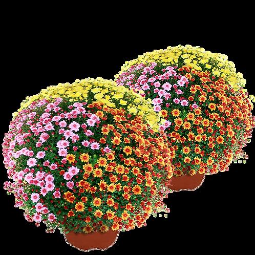 Duo de Chrysanthèmes