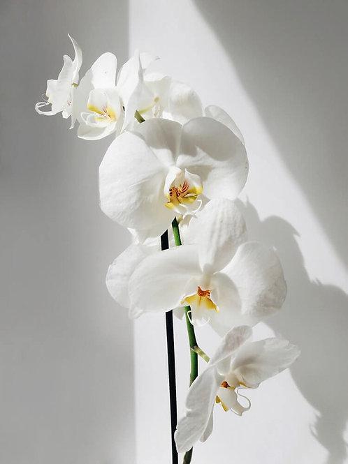 """Orchidée """"Candide"""""""