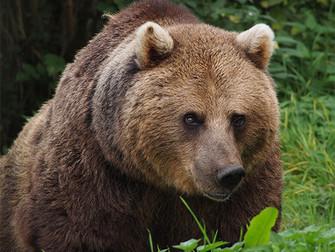 Crece la población de osos en el Pirineo