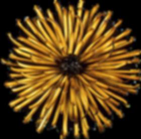 Chrysanthemum_edited.png