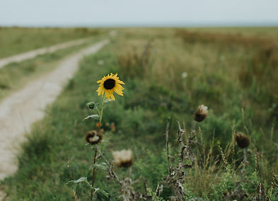 sunflower on the side of a dirt road