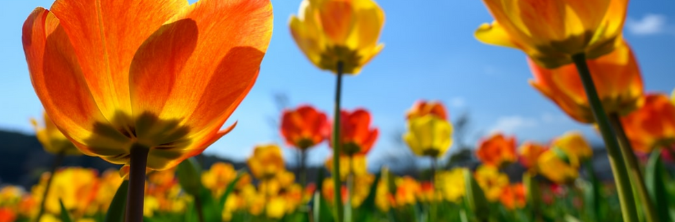 tulip background.png