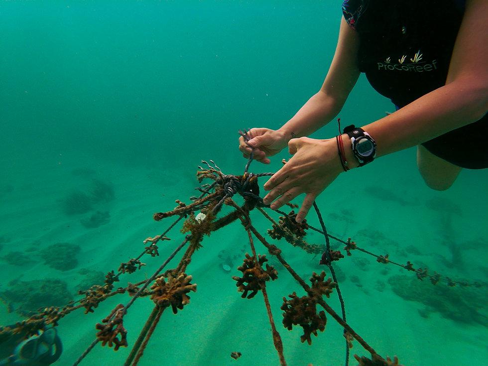Siembra de corales- ProCoReef-5.jpg