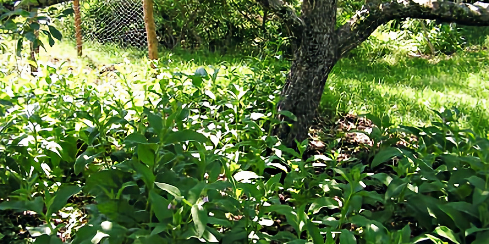 Understory Groundcover for Fruit Crops