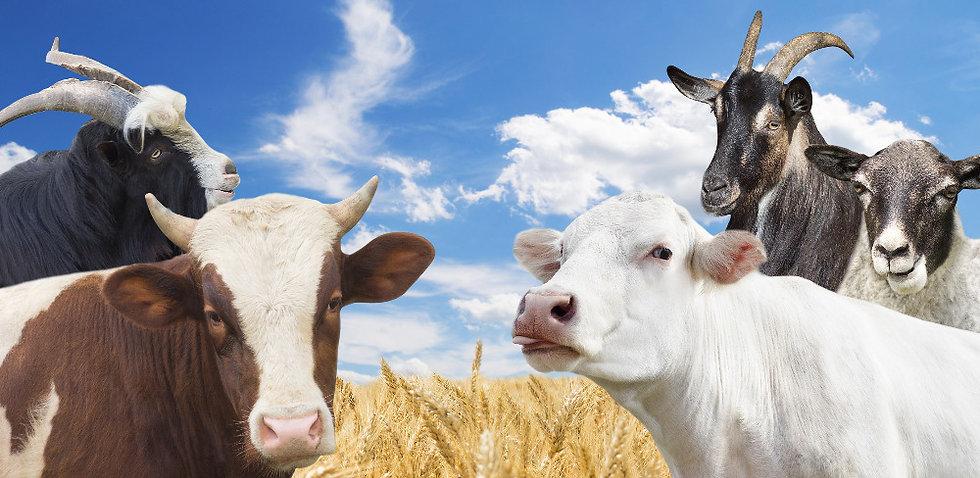 cattle%20in%20a%20wheat%20field_edited.jpg