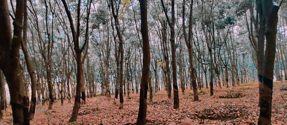 Rubber Plantation, South-Goa.