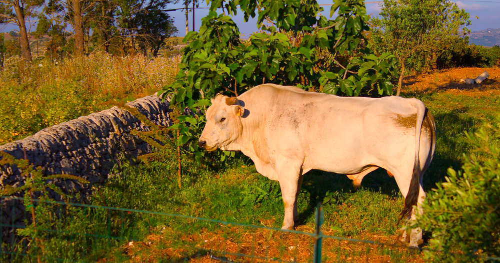 white cow in Sicilian landscape eating fig leaves