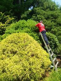 Pruning-orchard-ladder.jpeg