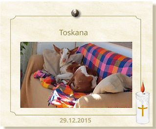 PHF-Podenca-Toskana-verstorben