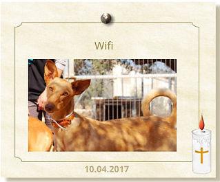 PHF-Podenco-Wifi-verstorben