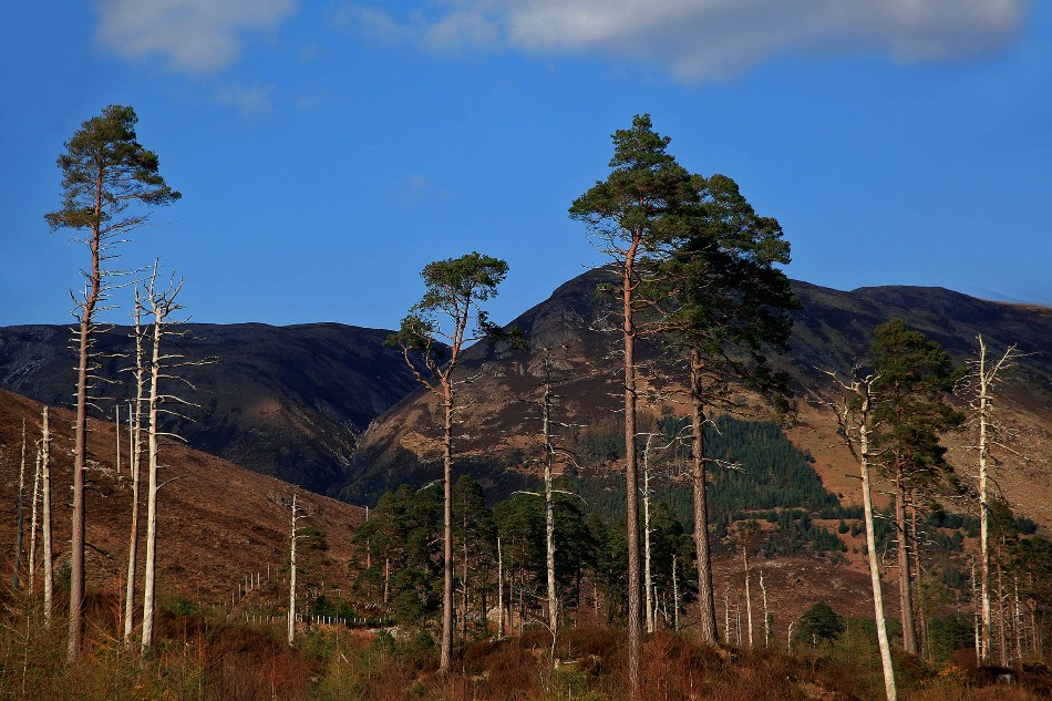 scots pine trees at glen affric