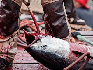 Wicked Tuna: NGS Supports Animal Abuse & Poor Conservation Featured Post By Marc Bekoff