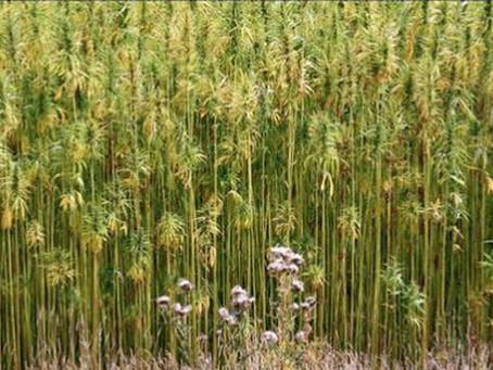 Hemp Grain - What is it?