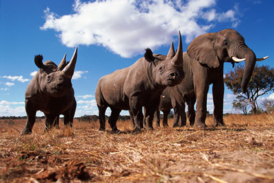 May2-Black-rhinocerous-and-African-elephant-Africa-c-naturepl.com-John-Downer-WW