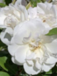 Rosas-Blanca-crop.jpg