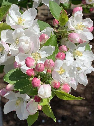 2021-Crab-Apple-Blossoms.jpg