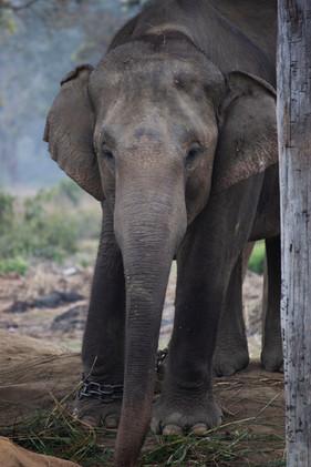 Elephant Breeding Center in Chitwan