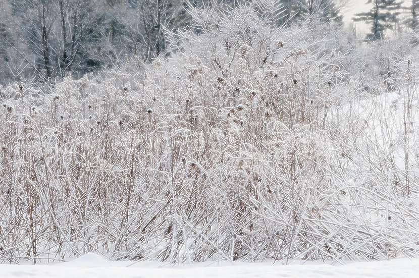 SNOW COVERED REEDS