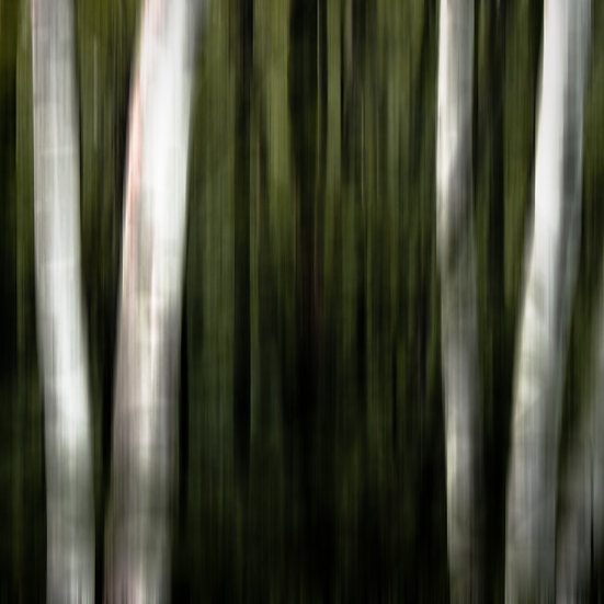 FOUR BIRCHES - COLOR