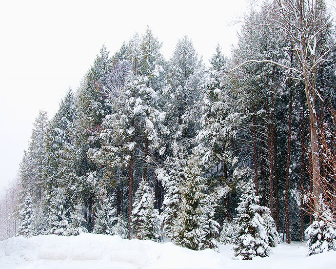 PITTSFIELD FIRS IN SNOW