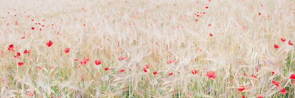 DORDOGNE POPPIES & GRASSES IN FIELD