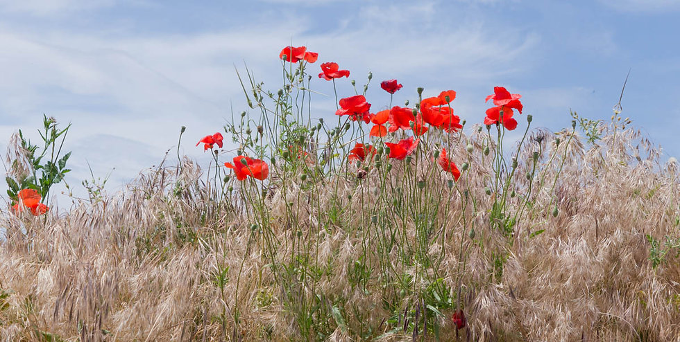 ROADSIDE POPPIES - PROVENCE