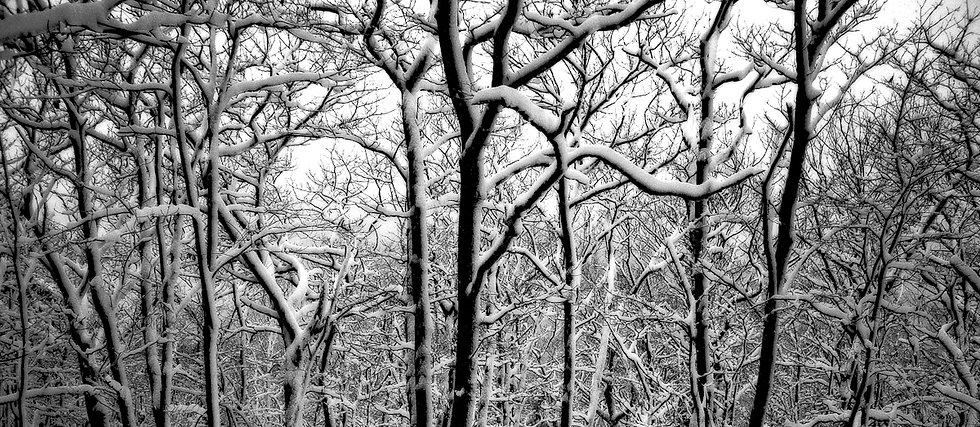 SNOW TREES #1