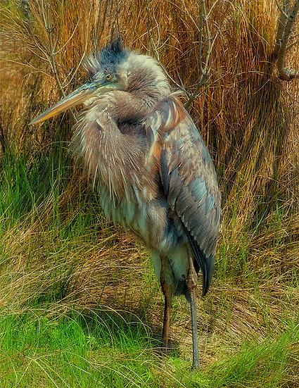 BLUE HERON ALL FLUFFED UP