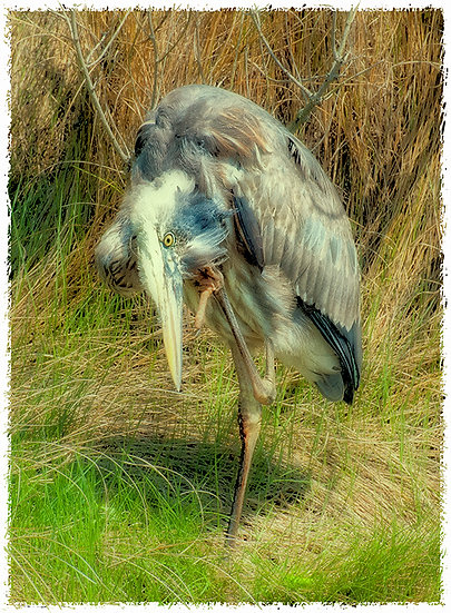 HERON WITH AN ITCH CHINCOTEAGUE