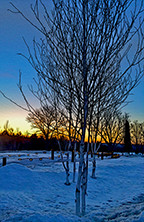 Birches and Lights