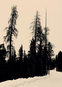 Colorado-31 tree removed for vertical da