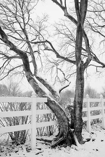 INVASIVE TREE