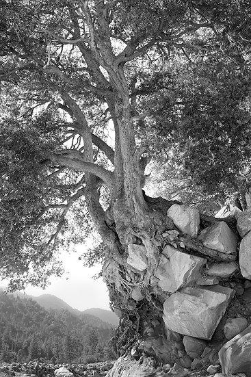 TREE HOLDING ROCKS