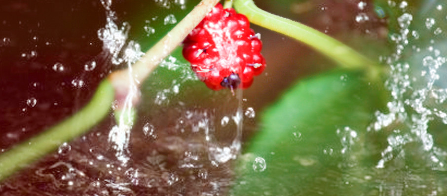 edkberry