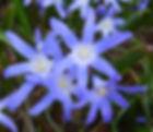 Kym Valley Gardens chionodoxa luciliae.j