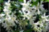 Trachelospermum jasminiodes.png