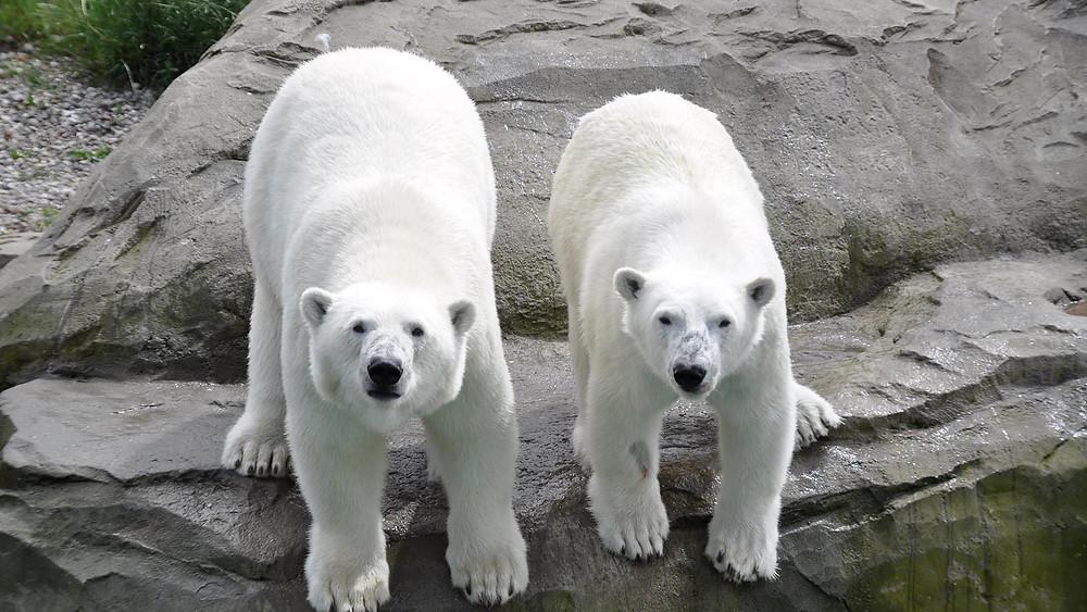 Eisbären Sizzel und Noria im Polarium (Bild: Zoo Rostock / Seemann)