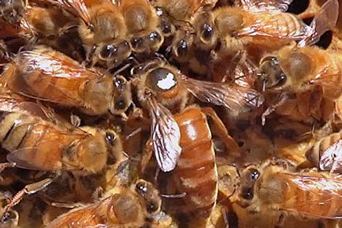 WASBA Certified Apprentice Beekeeper Course (WSBA Membership Required)