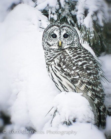 Barred Owl Vertical