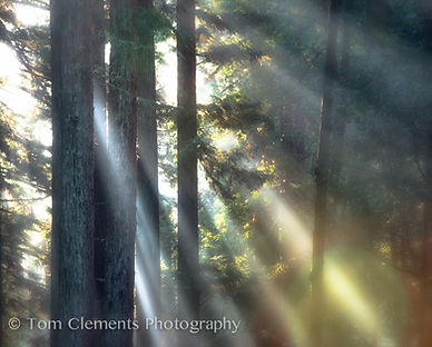 Morning in the Redwoods.jpg