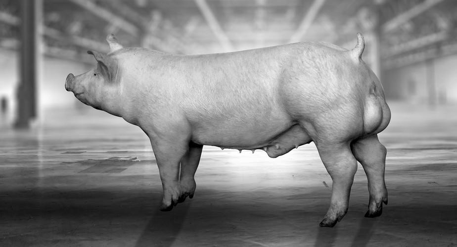 Beeldretouche voor een amerikaanse campagne van Topigs Norsvin Tempo Terminal boar. Fase 1