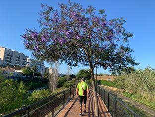 Jakarandaträden blommar i Nerja