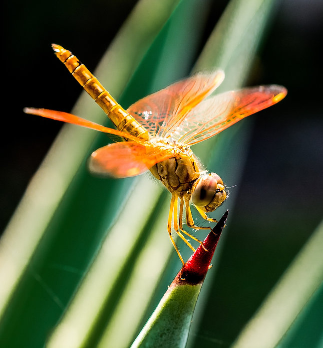 orange-dragonfly-on-red-and-green-leaf-6