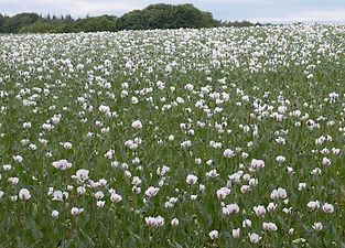 white-poppies field.jpg