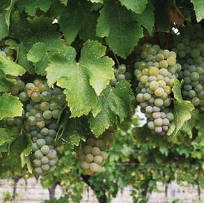McHenry Hohnen vineyard: Sauvignon Blanc for vintage 2021