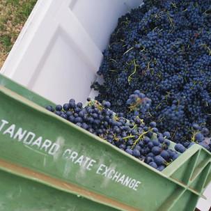 Myattsfield vineyard: Shiraz harvest for vintage 2021