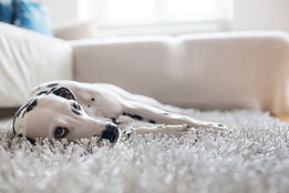 Pet Stain Removal Clayton NC.jpg
